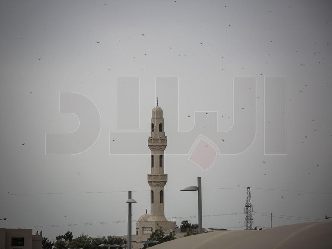 بالصور والفيديو: أسراب ضخمة من الجراد تغزو البحرين.. وخنجي: كلوه لأنه غير ضار